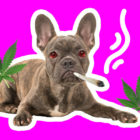 BB_Dog_Smoke