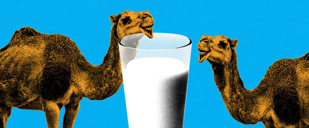 Should We All Be Drinking Camel Milk Now?