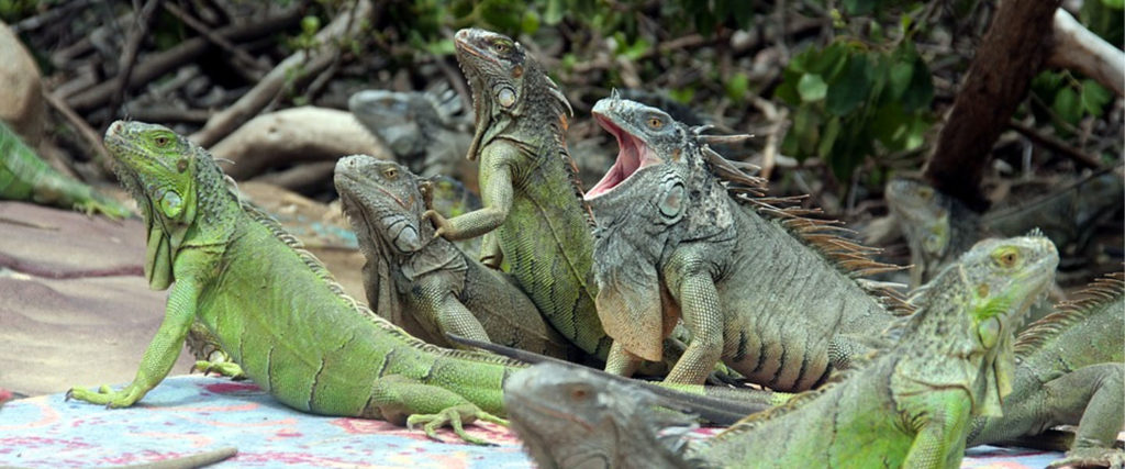 How Stomping Iguanas Became the Official State Sport of Florida