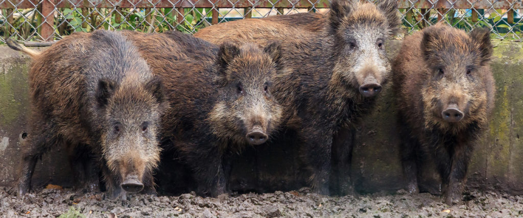 2019's Massive Pig-Out: The Year in Feral Hogs
