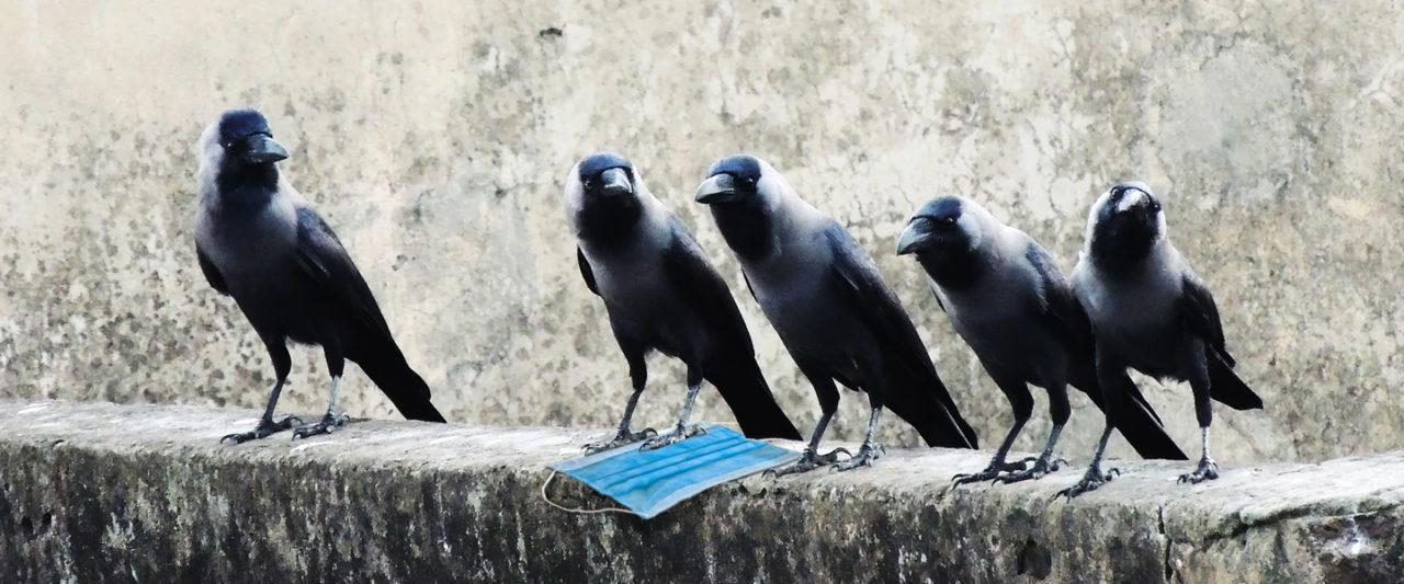 https://melmagazine.com/wp-content/uploads/2020/04/Corvid_Crows_In_Time_Of_Coronavirus-1280x533.jpg
