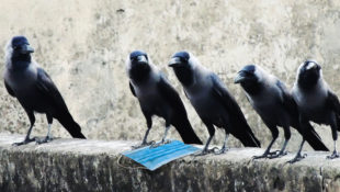 Corvid_Crows_In_Time_Of_Coronavirus