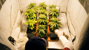Should_I_Be_Growing_My_Own_Pot_in_Quarantine