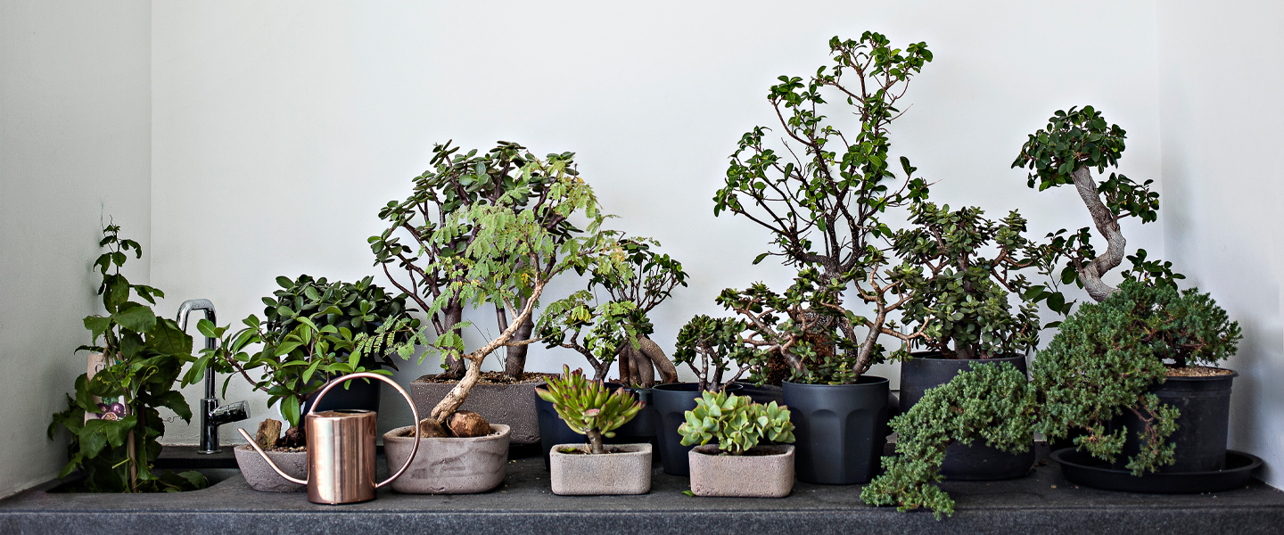 Bonsai Tree Stress Relief Bonsai Are The Perfect Pandemic Hobby
